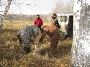 Сенний сезон охоты на косулю в бурятии с 1 октября 2020