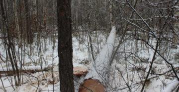 Незаконная рубка лесных насаждений судебная практика